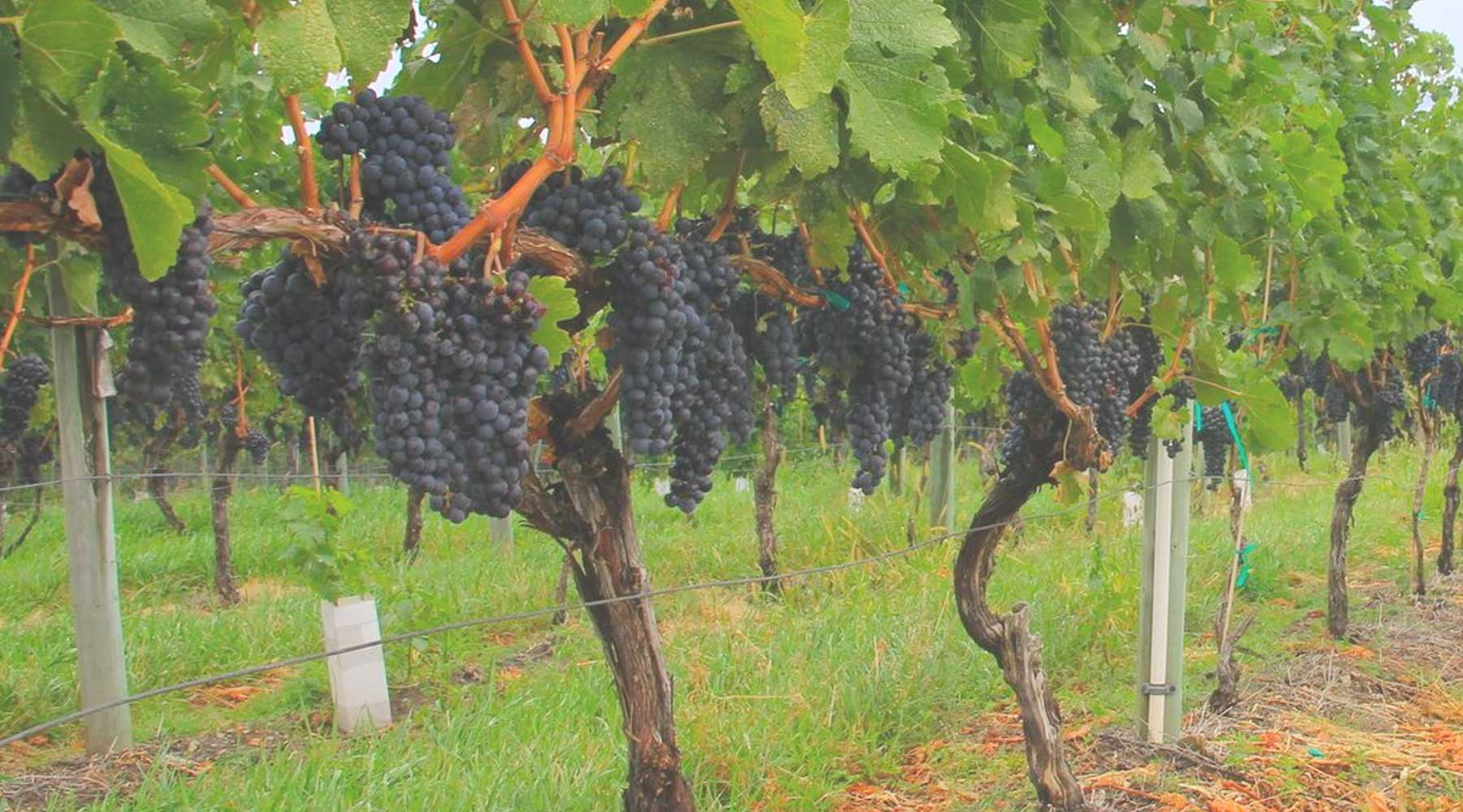 Marionette Winery | Just Wine